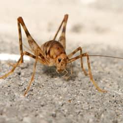 Cave Cricket Control